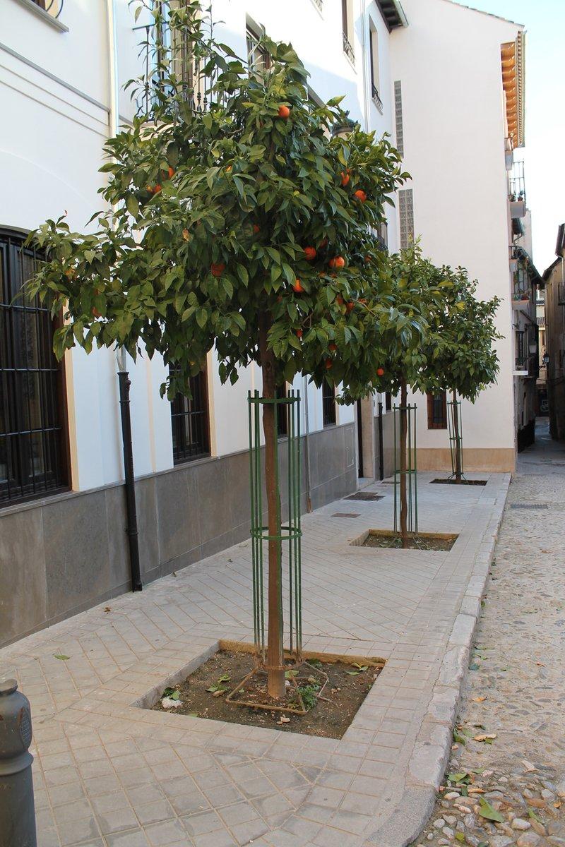 Naranjo nuevo en la plaza Carlos Cano.