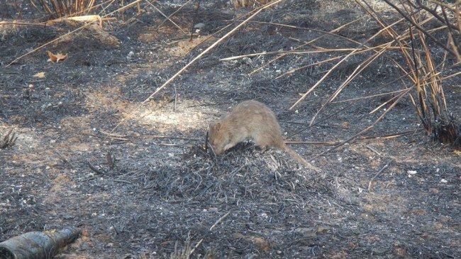 ratas sobrevientes de un incendio