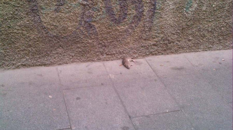 Rata muerta Verónica de la Magdalena